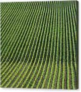 Bean Field, Holland, Manitoba Canvas Print