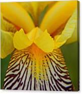 Bearded Iris Canvas Print