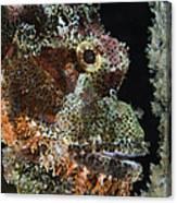 Bearded Scorpionfish, Indonesia Canvas Print
