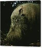 Bearded Swine Sus Barbatus Canvas Print