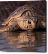 Beaufort The Turtle Canvas Print