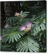 Beautiful Alabama Mimosa Silk Tree Canvas Print