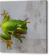Beautiful American Green Tree Frog On Grunge Background  Canvas Print