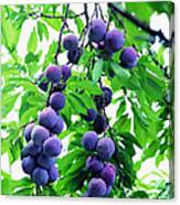 Beautiful Blue Plums On The Tree Canvas Print
