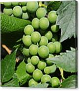 Beautiful Grapes Canvas Print