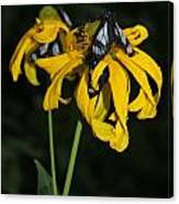Beautiful Moths Ser1 Canvas Print