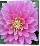 Beautiful Pink Dahlia Flower Canvas Print