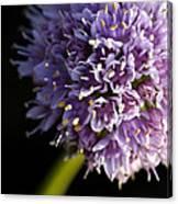 Beautiful Purple Flower Allium Senescens Canvas Print
