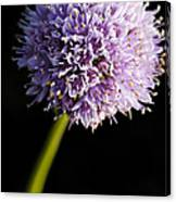 Beautiful Purple Flower With Black Background Canvas Print