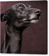 Beautiful Whippet Dog Canvas Print