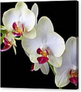 Beautiful White Orchids Canvas Print