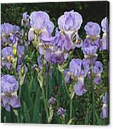 Bed Of Irises, Provence Region, France Canvas Print