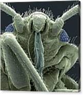 Bedbug Head, Sem Canvas Print