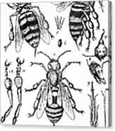 Bee Anatomy Historical Illustration Canvas Print