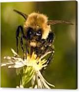 Bee Drinking Canvas Print