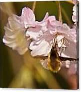 Bee Fly Feeding 1 Canvas Print