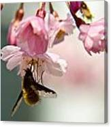 Bee Fly Feeding 2 Canvas Print