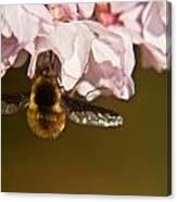 Bee Fly Feeding 5 Canvas Print