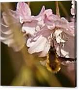 Bee Fly Sucking Nectar 1 Canvas Print