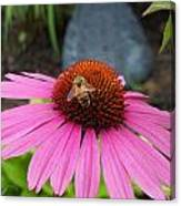 Bee Gathering Pollen On Cone Flower Canvas Print