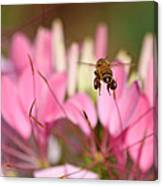 Bee In Flight Over Cleome Flower Canvas Print