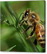 Bee In Green Canvas Print