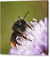 Bee In Pollen Canvas Print