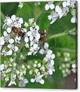 Bee Of The White Flower Canvas Print