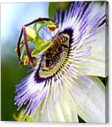 Bee On A Nigella Canvas Print