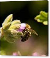 Bee On Blossom Flower Canvas Print