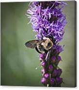 Bee On Gayfeather Squared 1 Canvas Print