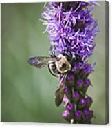 Bee On Gayfeather Squared 2 Canvas Print