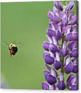 Bee On Lupine 2 Canvas Print