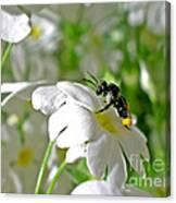 Bee On Primrose Canvas Print