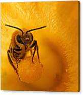 Bee On Squash Flower Canvas Print