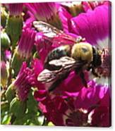 Bee With Cinearia Canvas Print