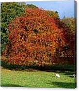Beech Tree, Glendalough, Co Wicklow Canvas Print