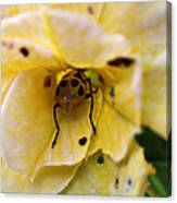 Beetle In Yellow Flower Canvas Print