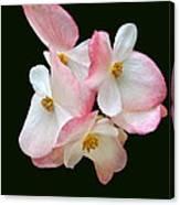 Begonia Flower Gems Canvas Print
