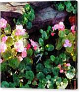 Begonias By Stone Wall Canvas Print