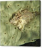 Beige Juvenile Filefish Hiding Canvas Print