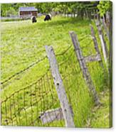 Belted Galloway Cows Farm Rockport Maine Canvas Print
