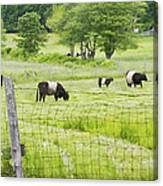 Belted Galloway Cows On  Farm Rockport Maine Photo Canvas Print