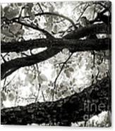 Beneath The Old Apple Tree Canvas Print