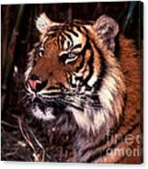 Bengal Tiger Watching Prey Canvas Print