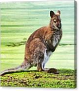 Bennets Wallaby  Canvas Print