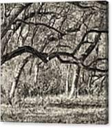Bent Trees Sepia Toned Canvas Print