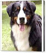 Bernese Mountain Dog 399 Canvas Print