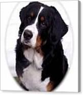 Bernese Mountain Dog 443 Canvas Print