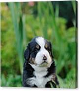Bernese Mountain Dog Puppy Portrait Canvas Print